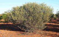 Australian Bushes 2
